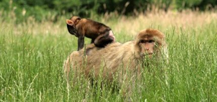 baby and adult monkey Barbary Macaque