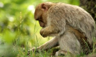 Barbary Macaque at Monkey Forest