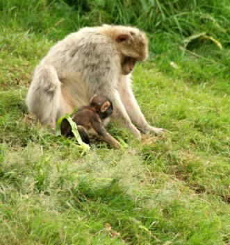 monkey foraging with baby